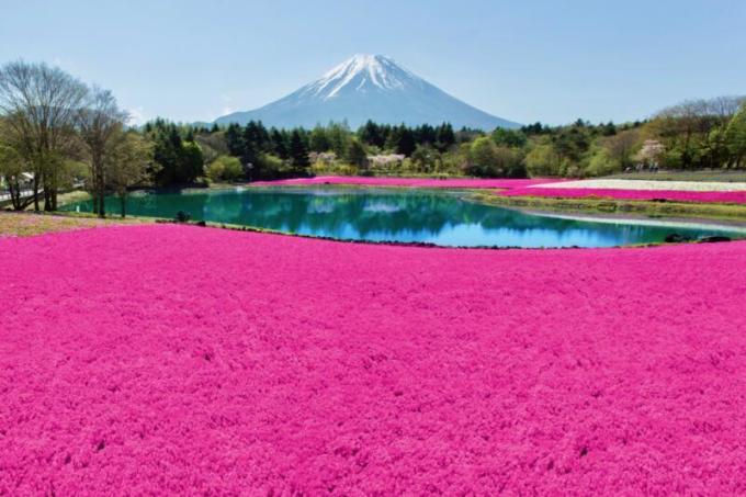 富士芝桜まつりの本気