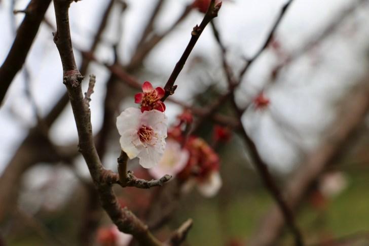 佐久間ダム親水公園桜まつり