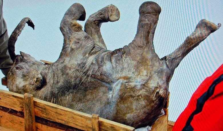 Baby woolly mammoth found in the Yamal peninsula, Siberia. Image by James St. John/Flickr.