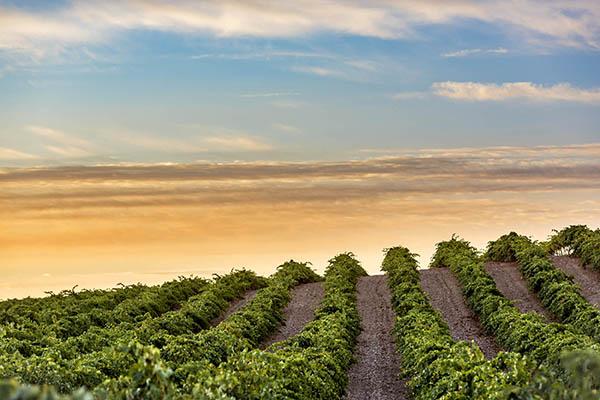 Campos de viñedos de Castilla-La Mancha