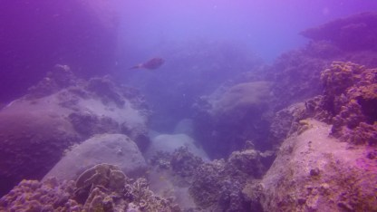 Scribbled Filefish