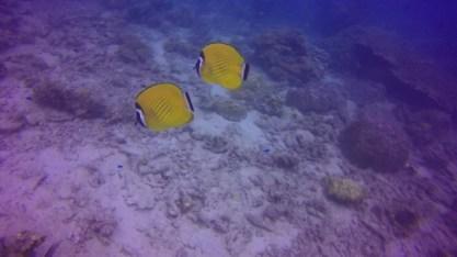 Weibels Butterflyfish