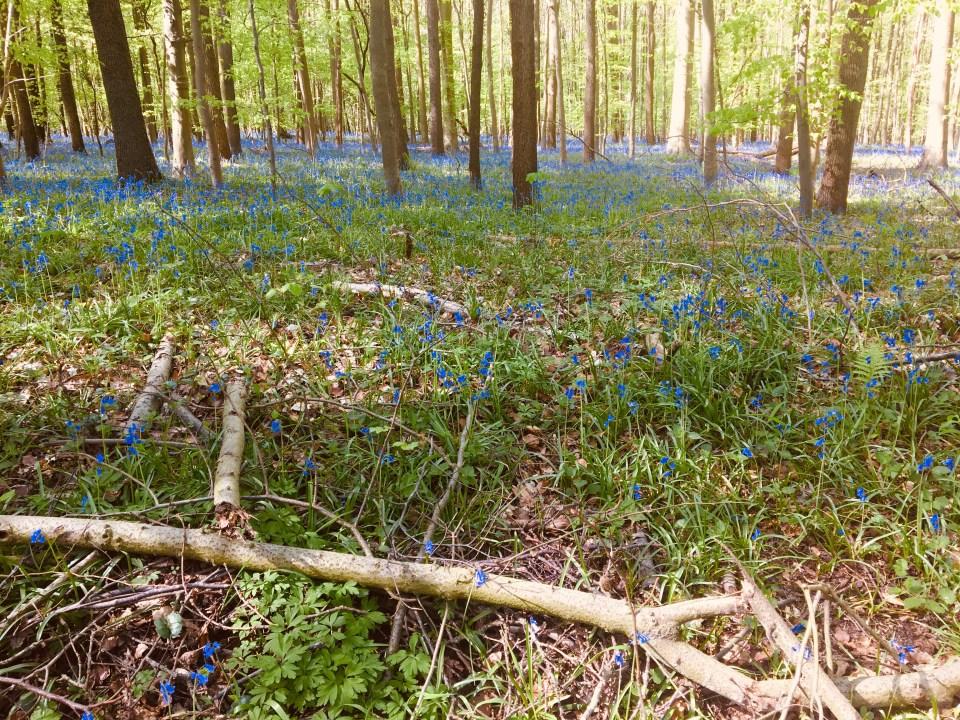 Hallerbos Forest Bluebells