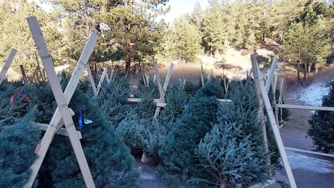 Christmas Trees in Colorado