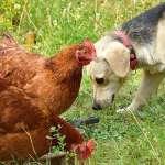 caes e galinhas