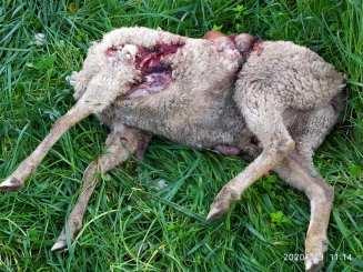 ovelhas 23_2593955179275485184_n