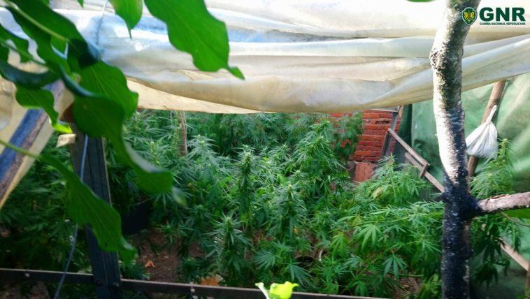 cannabis 66548 2266345177426315688 o