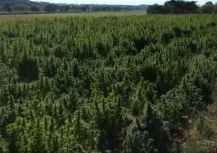 cannabis almeirim