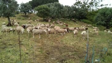 borregos ovelhas 1040489680388227072 o