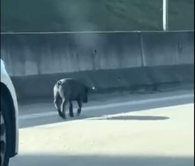 porco a13 1
