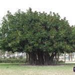 Ficus (I)