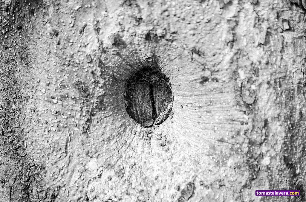 corteza-tronco-almendro