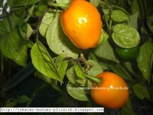 gelber Baumchili Rocoto mehrjährig, Baum Chili Samen