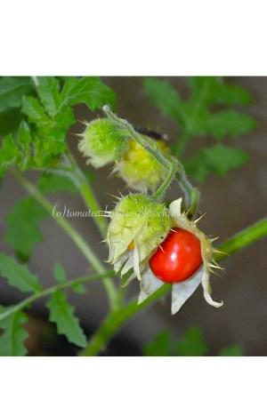 Litschi Tomate Distel