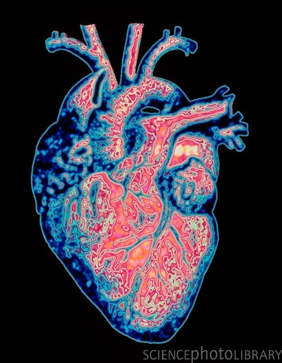 Anatomía y fisiología del corazón (resumen) / Manual de Cardiología