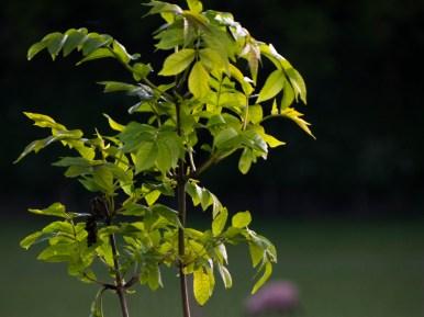 macro ash tree