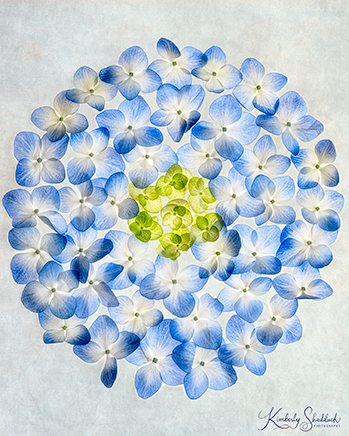 Blue Hydrangea Small Size Web