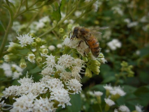 honeybee-with-pollen