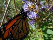 monarch-close-up-on-aster-10-5-15-e