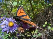 monarch-on-aster-10-5-15-i