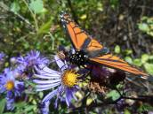 monarch-on-aster-j