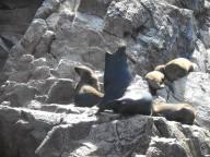 peru-sea-lion-voicing-a-moment-on-ballestas-island-peru-10-28-14