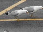 gull at E. Hill Plaza 3-21-15 -b