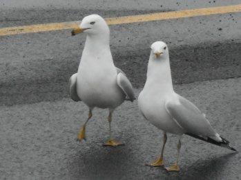 gulls at E. Hill Plaza 3-21-15