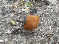 robin at attention 3-21-16