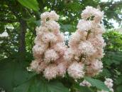 American Horse Chestnut blossom in front of Mann Library 5-24-13