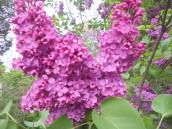 lilacs in front of the house 5-21-13