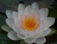 lotus pond Oklahoma City 5-26-16 e