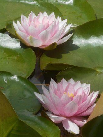 lotus pond Oklahoma City 5-26-16 g