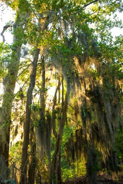 Spanish Moss Glow. First Landing State Park is one of the few places in Virginia that Spanish moss naturally grows