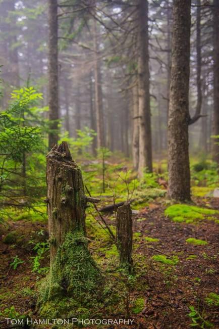 Spruce Forest on West Viriginia's Highest Mountain (Spruce Knob).