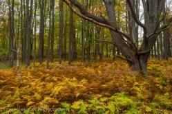 Cinammon Ferns turn their namesake color in Blackwater Falls State Park