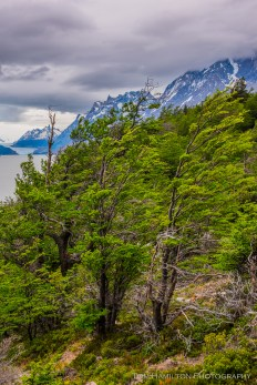 """Flagpoled"" nire trees shaped by the intense winds in Torres del Paine"