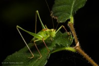 Bushcricket_100mm