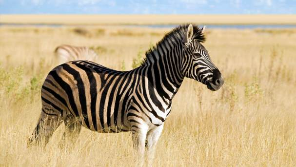 hero_zebra_animals