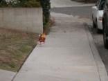 Our Neighborhood WatchRooster