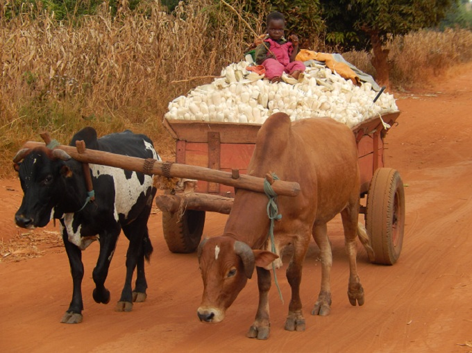 An Oxcart full of Corn with a Solitary Child Driver. No one could explain this!