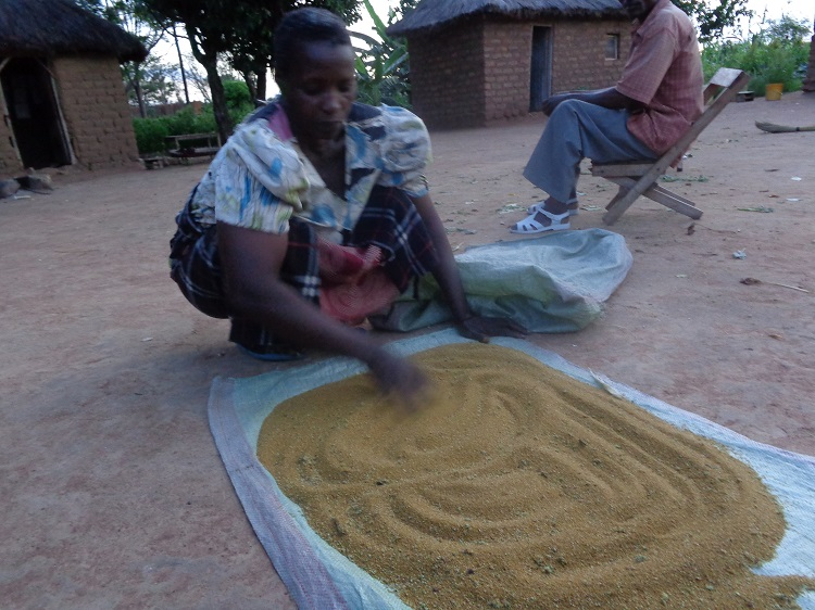 Drying Amaranth Grain in Tanzania