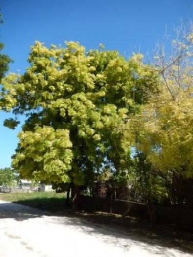 Healthy Neem Tree and Struggling Jacaranda Tree