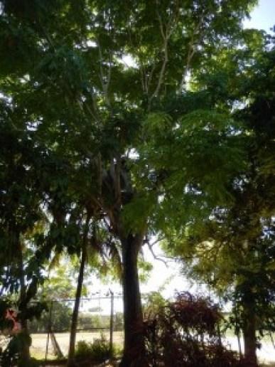 Mexican Cedar Tree