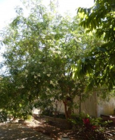 Healthy Moringa Tree