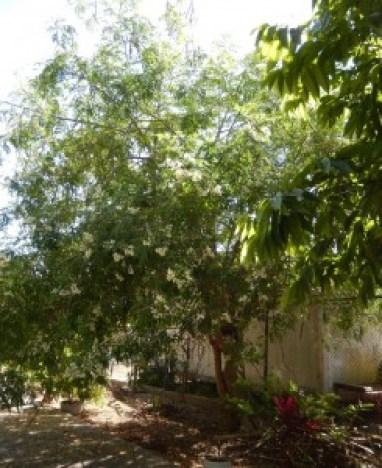 Healthy Moringa Tree
