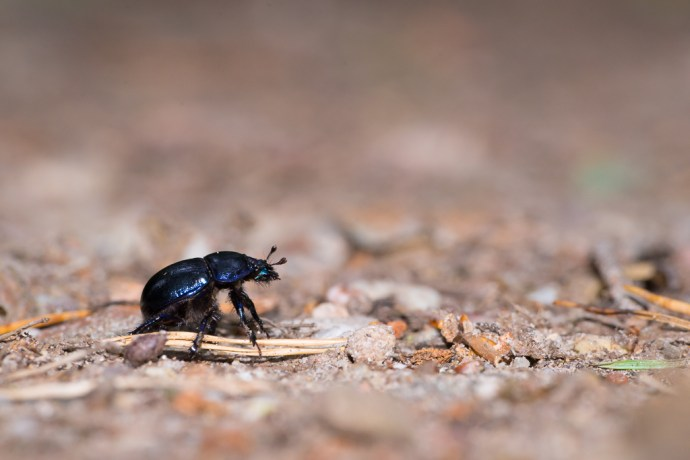Dung beetle (Geotrupes stercorarius).