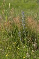 Viper's bugloss (Echium vulgare).