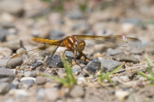 Meadowhawk (Sympetrum sp., probably vulgatum), young adult.