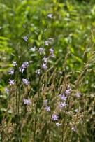 Bellflowers (Campanula).